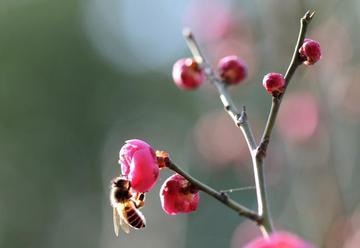 上海:红梅花开引蜂来