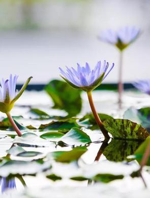 辰山植物园睡莲展周六开幕