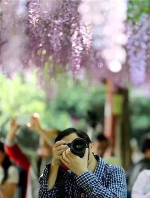 嘉定紫藤园已至最佳观赏期