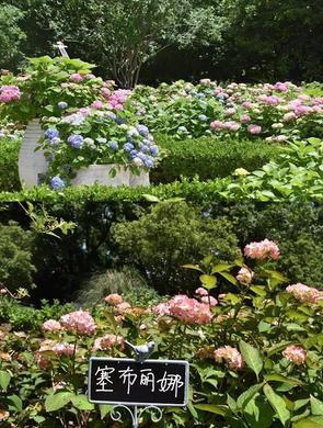 上海首个八仙花主题花园将迎最佳观赏期