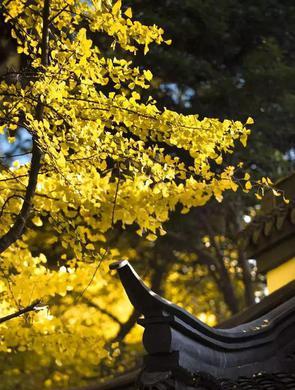 沪上各大公园金色银杏已上线