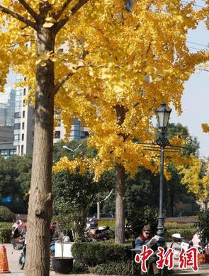 上海银杏叶变黄啦 步行街已成金光大道