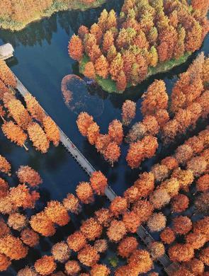 上海青西郊野公园水杉林变红