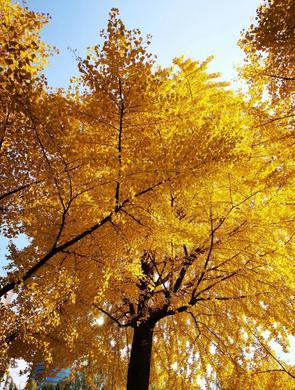 银杏的美有多少种 一大波美图告诉你