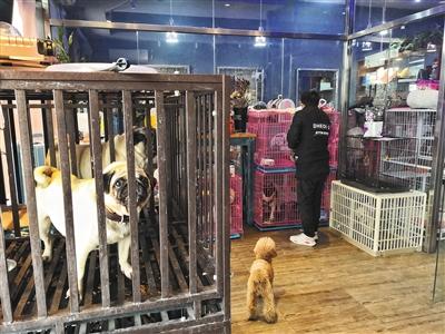 2月8日,东城区幸福大街一家宠物店内,工作人员将一只泰迪放入笼子内。 新京报记者 王飞 摄