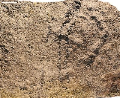 研究人员在三斗坪镇雾河村采集到的遗迹化石。(南京地质古生物研究所供图)