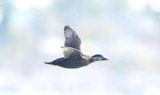 黑海番鸭 张华 摄
