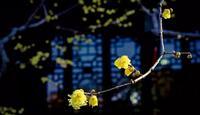魔都腊梅观赏地 嫩黄透亮的蜡梅点亮了整个冬天
