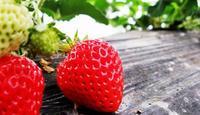 魔都草莓采摘攻略 在寒冬品尝这清甜的味道
