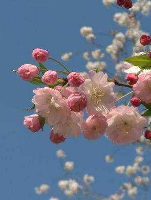 顾村公园周末将进入早樱盛花期