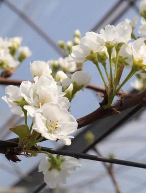 松江仓桥水晶梨开花