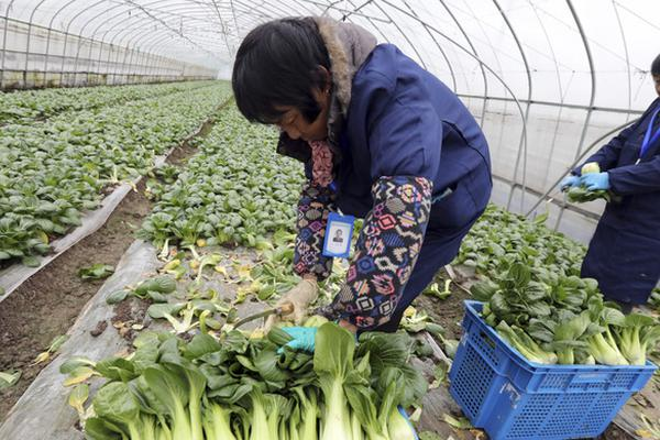 上海本地綠葉菜自給率超八成 口感甜糯品種最受歡迎