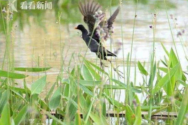 上海星愿公园发现80多种鸟类 人工湿地作用大