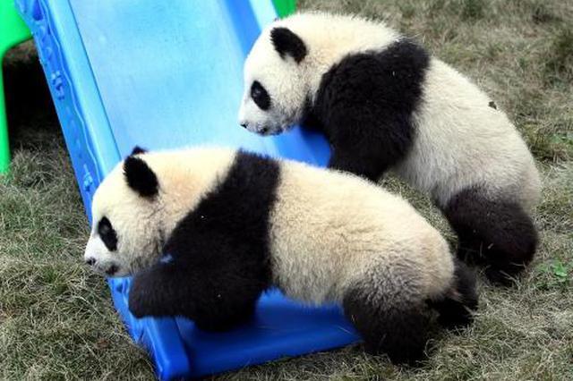 上海两大动物园迎大客流 大熊猫龙凤胎成人气王