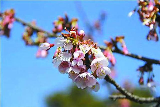 申城最美樱花季将来临 清明迎来烂漫凄美樱花雨