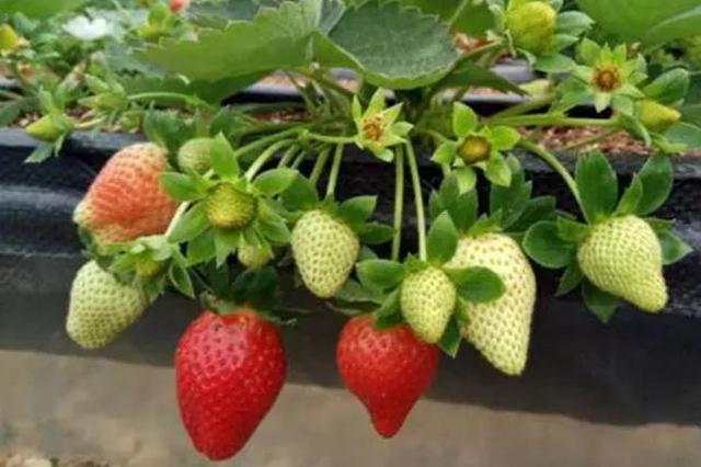 交大博士研发草莓栽培新模式:穿西装也能下地干活