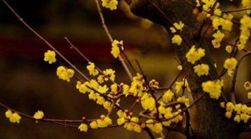 全上海蜡梅进入绝佳观赏期