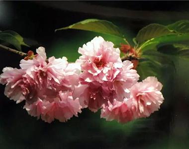 """""""赏樱选魁""""——票选最美樱花树暨喜欢顾村公园的理由"""