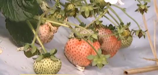 视频:崇明白草莓上市汁多清甜 采摘价百元一斤