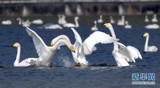 平陆近万只白天鹅飞返西伯利亚