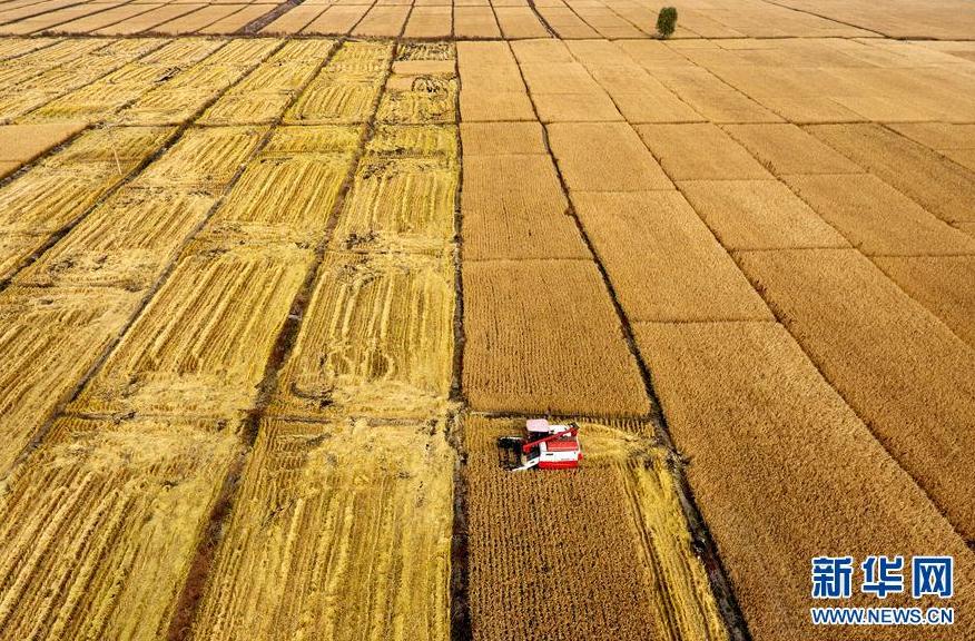 太原晉源區2000多畝水稻迎收割季