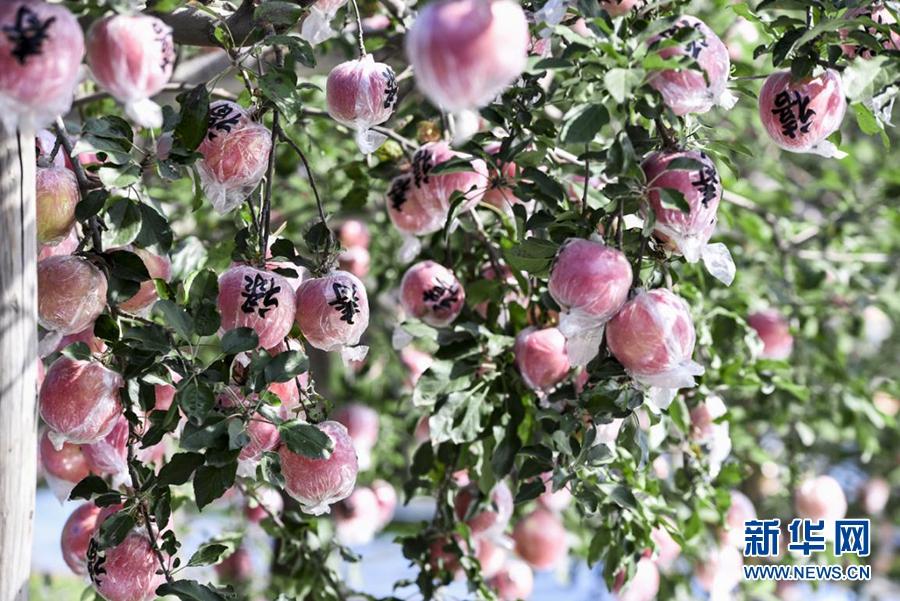 苹果从运城果园到走出国门
