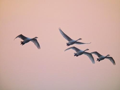山西平陆黄河湿地近万只白天鹅陆续飞返西伯利亚