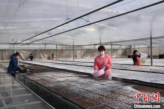 在山西省长治市长子县惠民农业科技开发有限公司近20个篮球场大的育苗棚内,60多名戴着口罩的工人进行着装盘、播籽、盖土、浇水等作业。 曹杨 摄