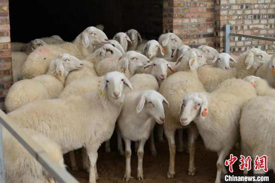 """山西省交口县上庄村湖羊养殖场,返乡青年刘纪红不当高管当""""羊倌""""。 解德智 摄"""