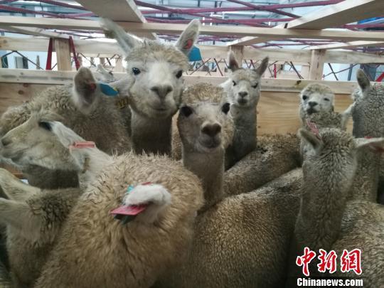 图为木箱中的澳大利亚羊驼。李娜 摄