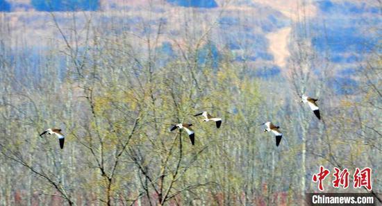灰頭麥雞近日出現于山西長治沁縣瘦西湖濕地,這是該地首次發現瀕危鳥類灰頭麥雞。 宋建國 攝
