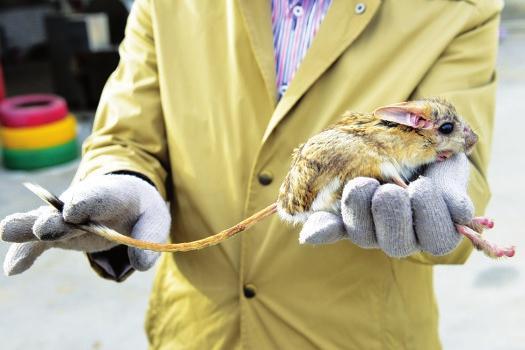 长耳跳鼠获救助。山西日报通讯员摄