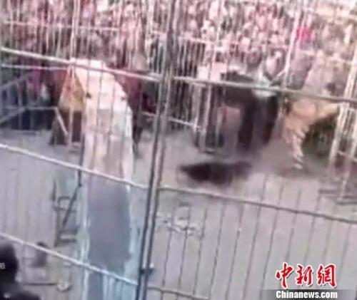 在表演的过程中,由于当时观看的群众较多,将驯兽笼和表演笼拥挤错位,老虎从错位的间隙中跑出去。 事发现场视频截图