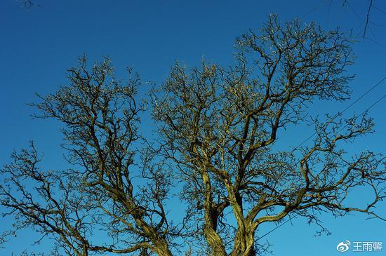 """关门城墙旁的一户院子里的这棵老""""文冠果""""树(别名""""木瓜""""),已有300多年。"""