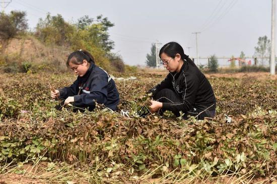 在山西潞安集团油用牡丹育苗基地,石圪节煤矿工人在苗圃里分拣牡丹苗(2016年10月11日摄)。 新华社记者 詹彦 摄