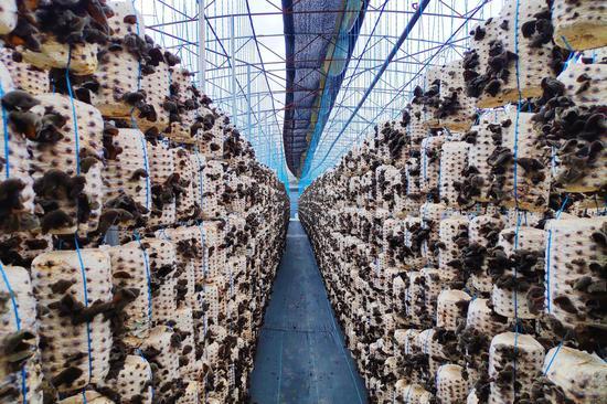 中阳县腾宇生物科技有限公司已建成年产5000万棒的菌棒厂 摄影:郝智祥