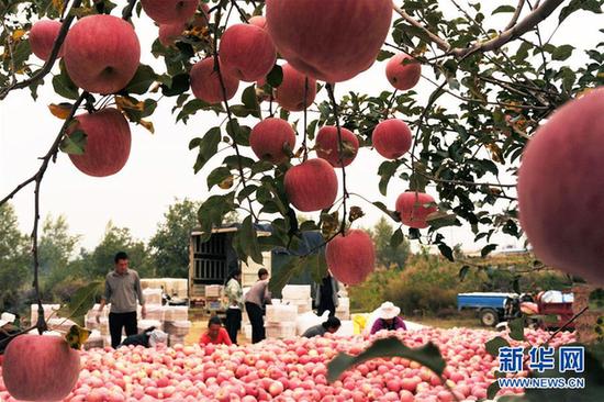 近日,山西吉县吉昌镇苹果喜获丰收,村民们抓紧抢收成熟的苹果。近年来,吉县大力发展苹果产业,全县种植苹果28万亩。新华社记者 马毅敏 摄