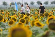 太原350亩向日葵进入盛花期