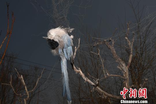14日,山西省太原市杏花岭区淖马村,一处果园的200米长捕鸟网上挂着百余只死去的鸟儿。图为死去的鸟儿。 韦亮 摄