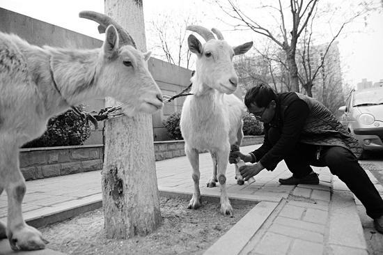 潘师傅在街头蹲着挤羊奶。