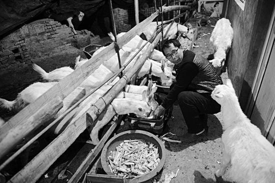 潘师傅卖完羊奶回到家,第一件事就是先把羊喂饱了,然后自己再吃饭。