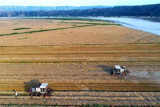 山西:黄河滩涂收粮忙 绘就丰收画卷