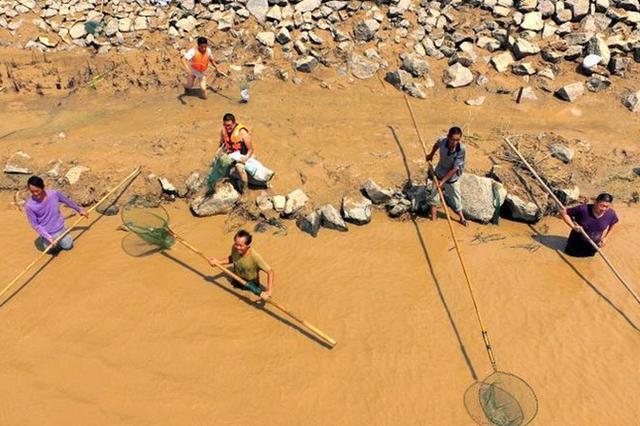 """山西平陆现""""流鱼""""奇观 沿河民众冒险下河捞鱼"""