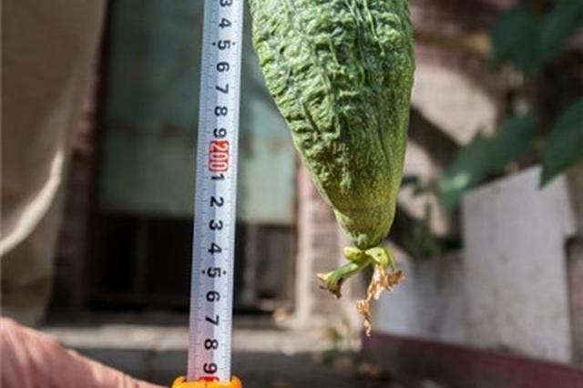山西太原居民种出两米多长丝瓜 吸引民众围观