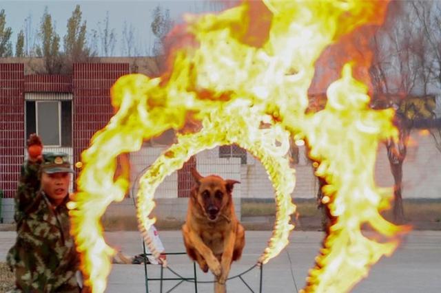 山西武警警犬训练营 看警犬是怎样练成的