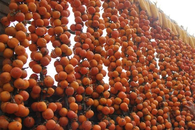 山西阳城:金秋柿子喜丰收