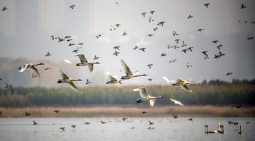 平陆:越冬白天鹅舞动金秋黄河湿地