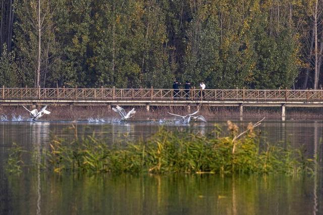 山西平陆:越冬白天鹅舞动金秋黄河湿地