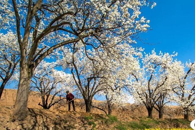 梨乡盛装迎客 山西高平梨花节将于4月13日盛大启幕