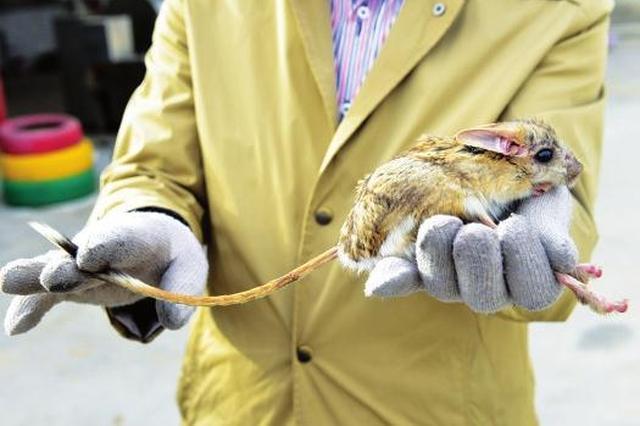 长耳跳鼠现身朔州 为全球100种最濒危灭绝物种之一